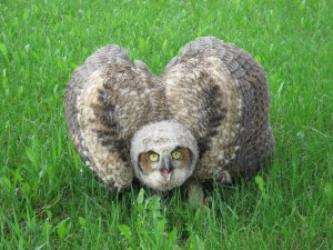 Picture of great horn owl brancher on ground with wings raised