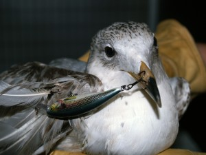 Picture of a ring billed gull
