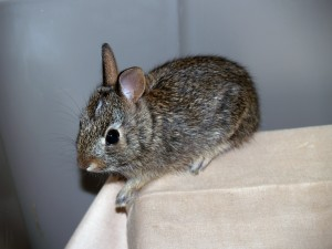Picture of young cottontail
