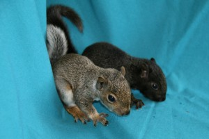 Picture of two grey squirrel juveniles sitting side by side.
