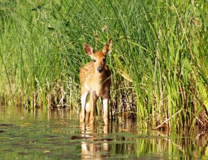 Picture of fawn standing in a pond.