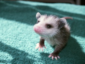Picture of juvenille opossum walking across fabric.