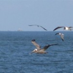 Peilcan and laughing gulls in flight.  Photo Credits: Lynn Miller