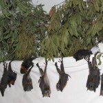 Black and grey-headed flying foxes.