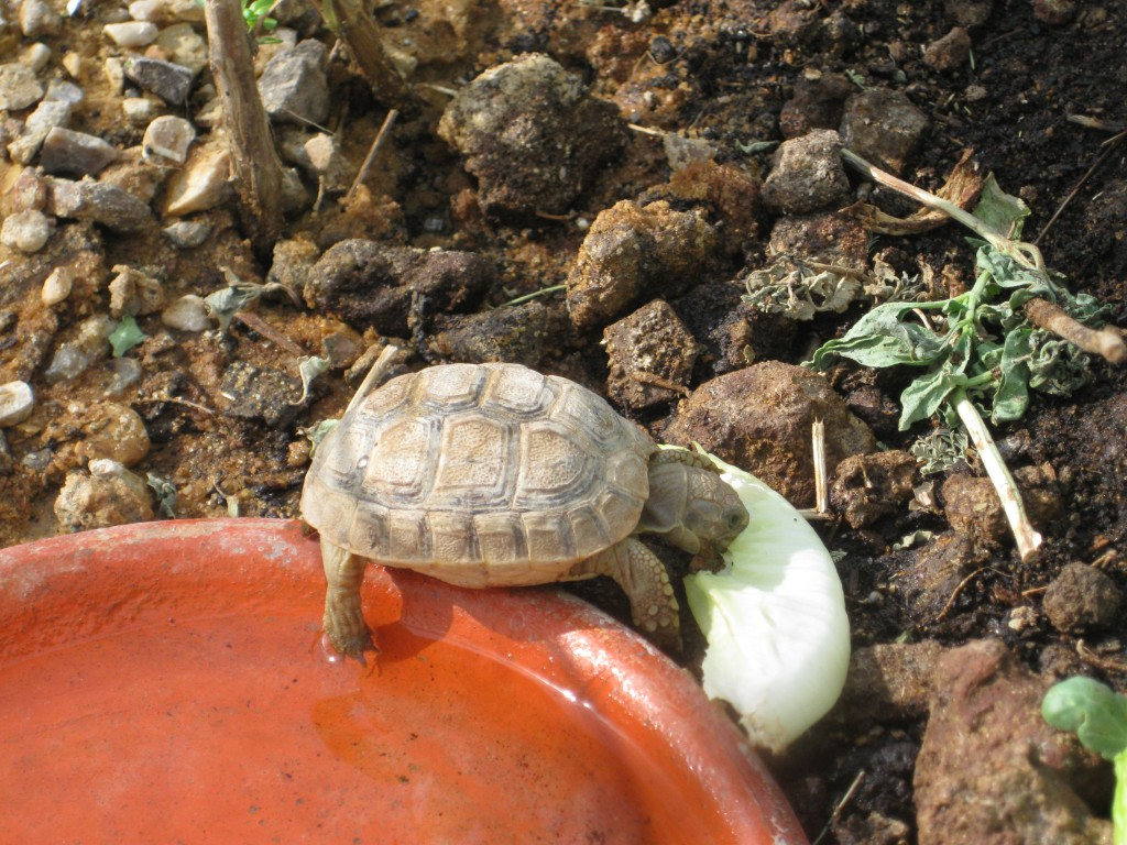 Young tortoise eating greens.