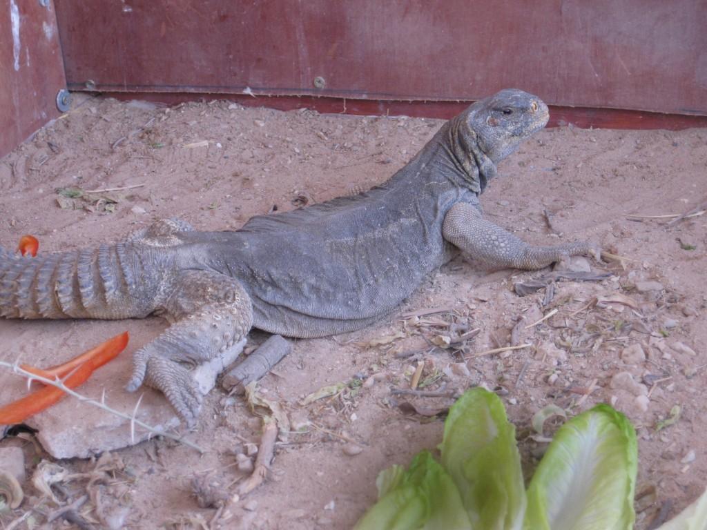 Dag lizard