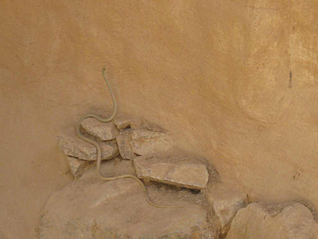 Egyptian Sand-Racer: Psammophis aegyptius winding through sand and rock
