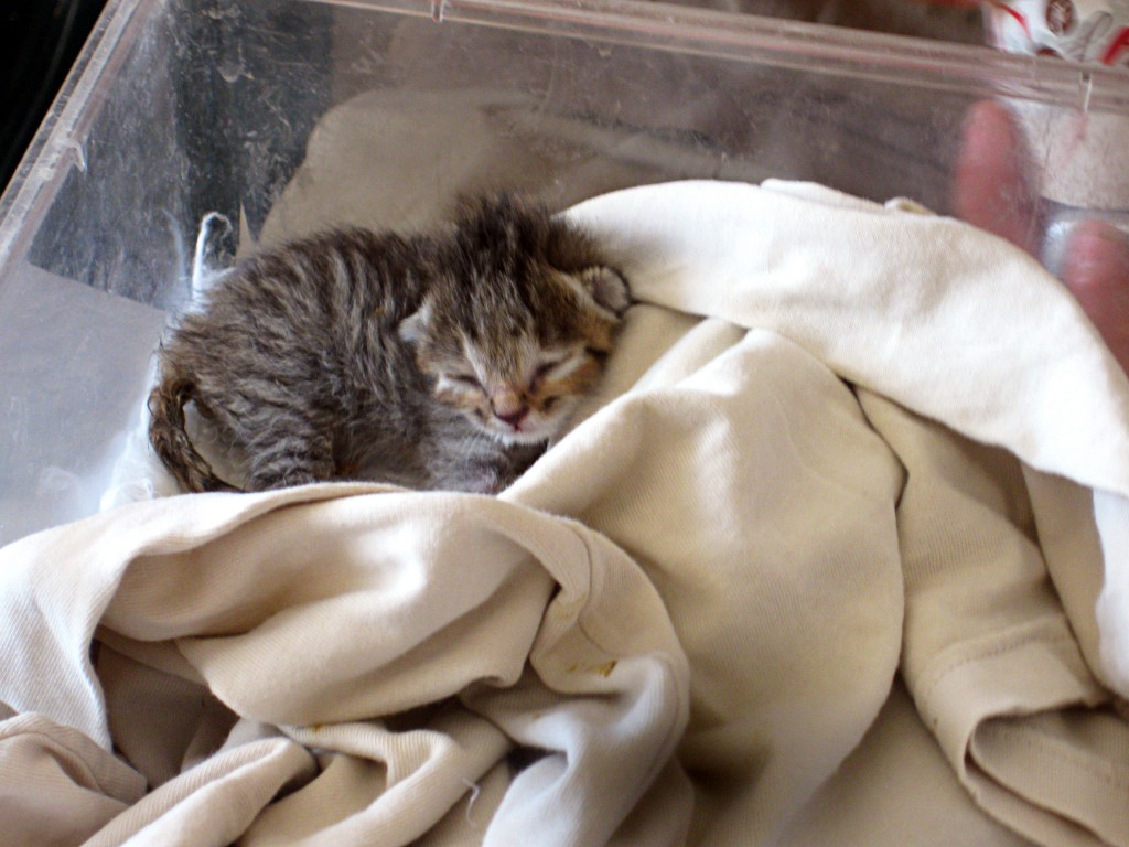 Wild cat kitten in incubator with blanket