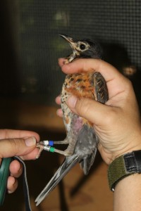 Robin with leg bands being held and examined
