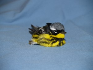 Picture of a Magnolia Warbler