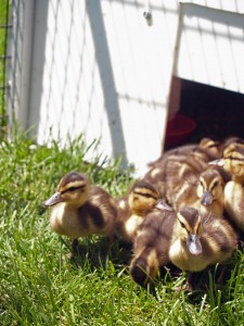 Picture of mallard ducklings leaving a box