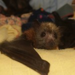 Young grey-headed flying fox
