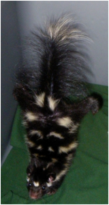 dorsal view of eastern spotted skunk in limited mobility housing