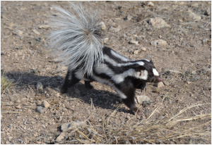 Profile view of western spotted skunk standing on dry rocky ground.