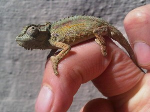 dwarf chameleon perched on single human finger.