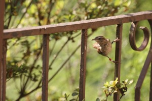 Released banded Carolina wren perched on railing