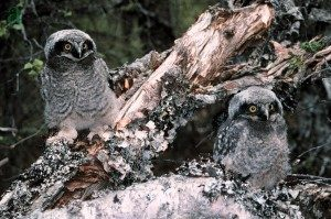 Photo: Osrodek Rehabilitacji Ptakow Chronionych Ptasi Azyl. Fledgling northern hawk owls exploring their world.
