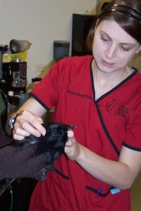 Photo of Renee Schott examining a crow while another person holds it. Photo Credit WRCMN