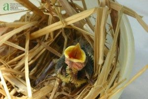 nestling great tit in plastic tub with straw around it