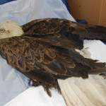 Supine bald eagle