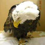 Bald eagle, standing but unsteady