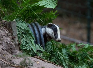Juvenile badger (Meles meles) peaking out of an artificial sett. Photo credits: Jan Reen