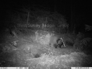Camera trap image of juvenile badgers (Meles meles) in a soft release enclosure.