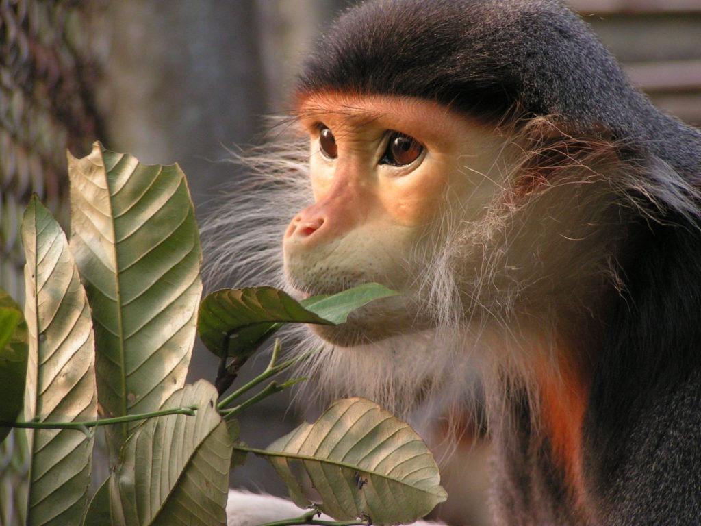 Close up image of face and shoulders of red shanked douc langur (Pygathrix nemaeus) eating leaves