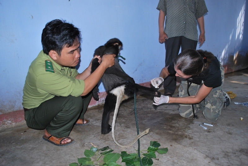 Wildlife Officer holding gibbon while Dr Streicher administers first aid.