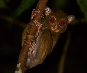 Tarsier. Photo credit Jungle Dave and Hakeem Julaihi
