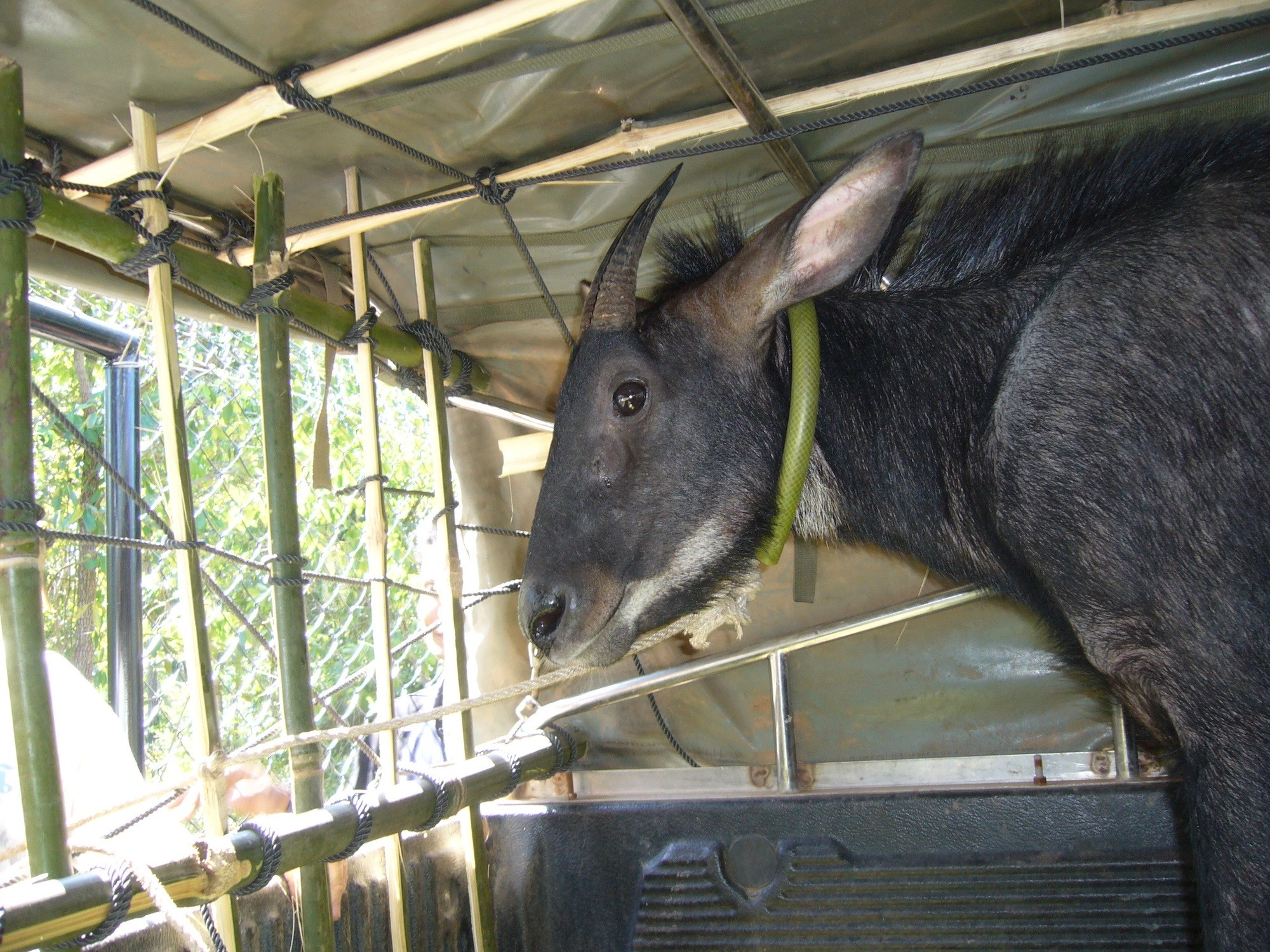 The head and shoulders are shown of a serow being transported in the back of a pickup enclosed in a large bamboo structure.