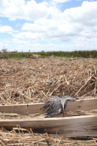 Deceased great blue heron lying among brown reeds.
