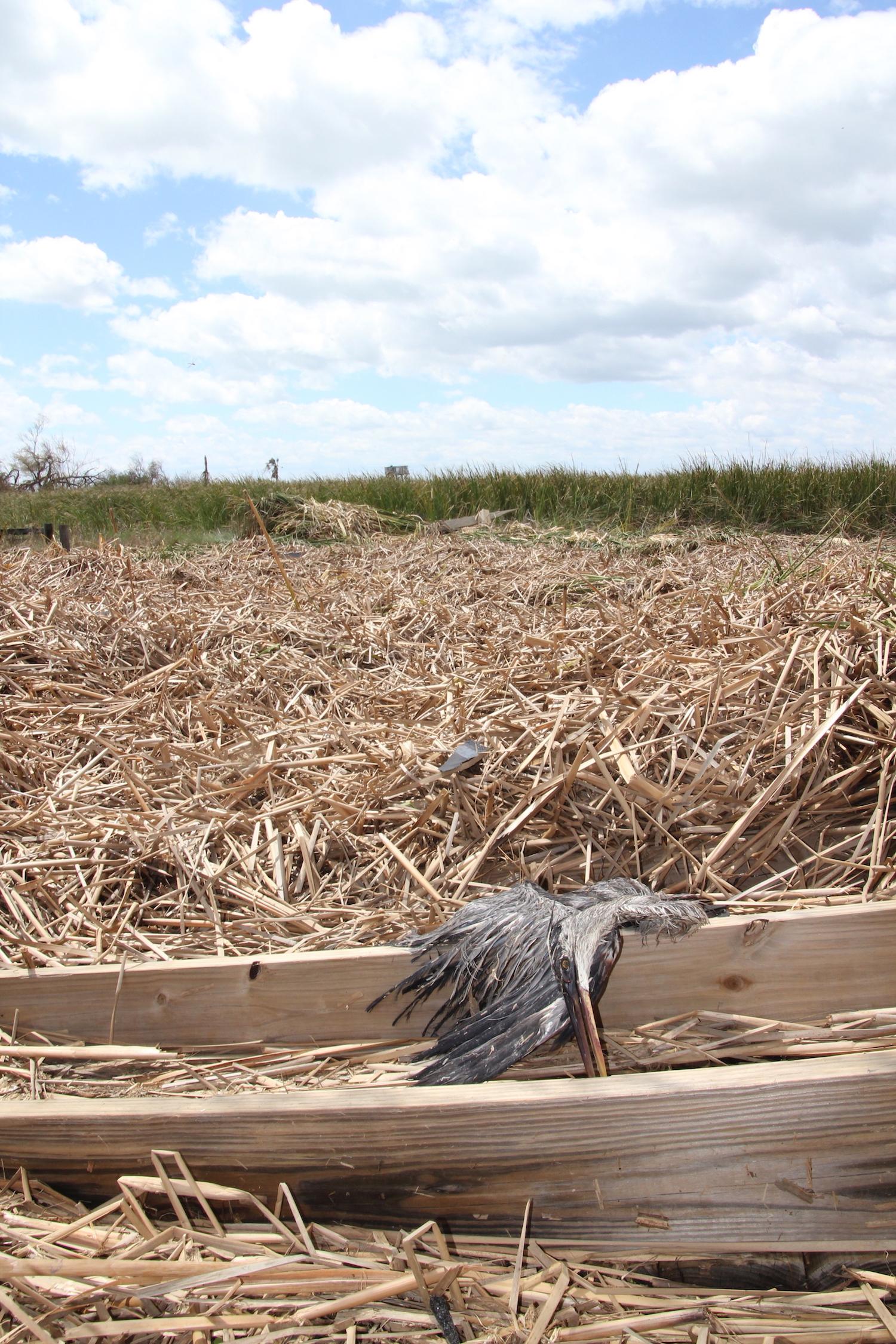 Deceased great blue heron lying among brown reeds.