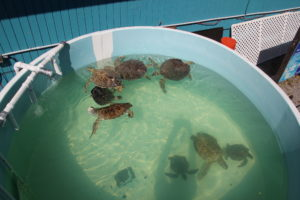 Several green sea turtles swimming in recirculating water tank