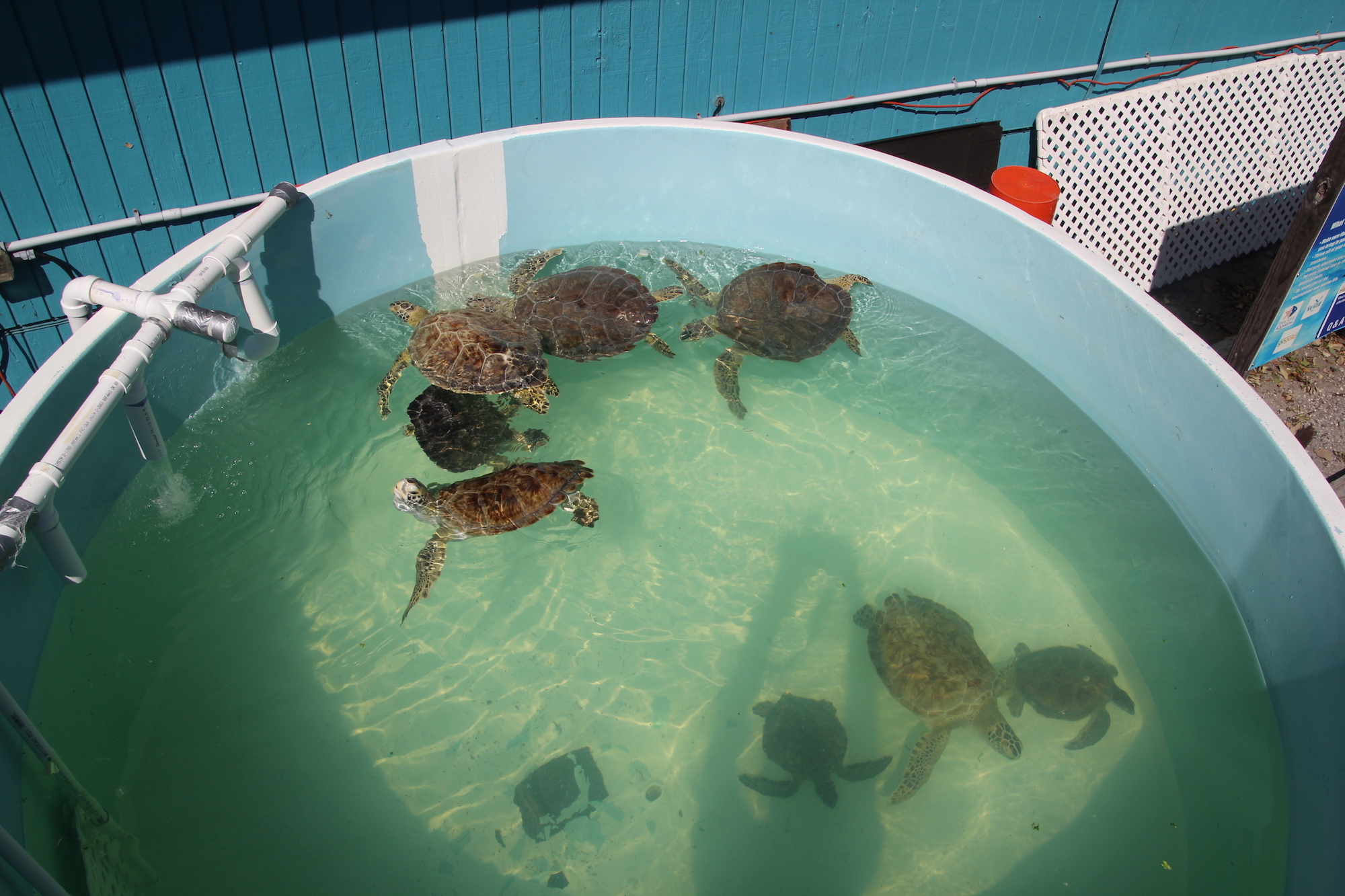 Several green sea turtles swimming in recirculating water tank