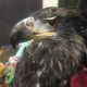 Juvenile Bald Eagle looking for home