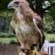 "Red Tail Hawk ""Luta"""