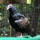 Turkey Vulture needs new home
