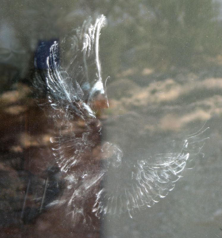 Feather dust imprint left on a window from a bird collision. Outstretched wings with individual feathers outlined and faint imprint of head, feet, keel, and a few tail feathers.