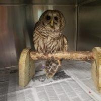 """""""BAO"""" BARRED OWL ID #19-0199"""