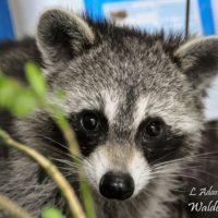 3 sibling habituated raccoons