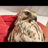 Gorgeous light Juvenile Red-shouldered Hawk